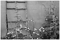 Flowers, ladder, and adobe wall. Albuquerque, New Mexico, USA (black and white)