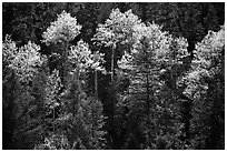 Aspens and conifers in spring. New Mexico, USA ( black and white)