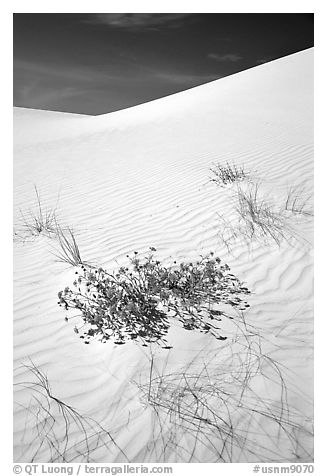 Flowers and dunes. White Sands National Monument, New Mexico, USA (black and white)