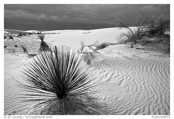 Yuccas, White Sand National Monument. White Sands National Monument, New Mexico, USA (black and white)