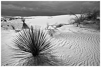 Yuccas, White Sand National Monument. White Sands National Monument, New Mexico, USA ( black and white)