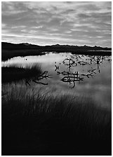 Reeds and branches in marsh, sunrise, Havasu National Wildlife Refuge. Nevada, USA (black and white)