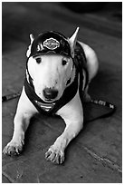 Puppy wearing Harley-Davidson gear. Reno, Nevada, USA (black and white)