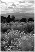 Sage in bloom, Snake Range. Nevada, USA (black and white)