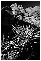 Yucca and red rocks. Red Rock Canyon, Nevada, USA ( black and white)