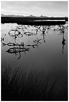 Marsh at sunrise, Havasu National Wildlife Refuge. Nevada, USA ( black and white)