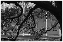 Live oak in front of Menil Collection. Houston, Texas, USA ( black and white)