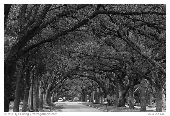 Tree tunnel, North Boulevard. Houston, Texas, USA (black and white)