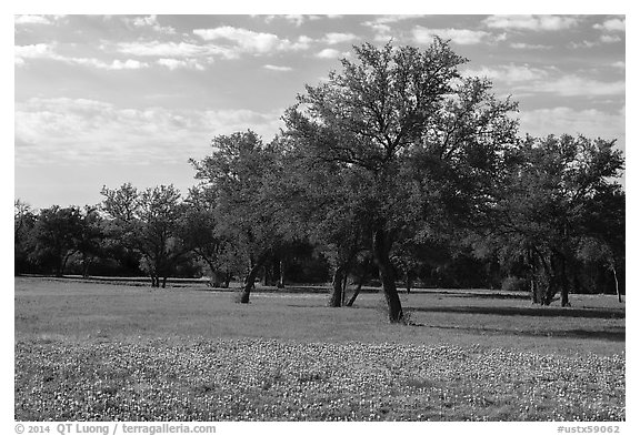 Grass, bluebonnets and trees. Texas, USA (black and white)