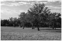 Grass, bluebonnets and trees. Texas, USA ( black and white)