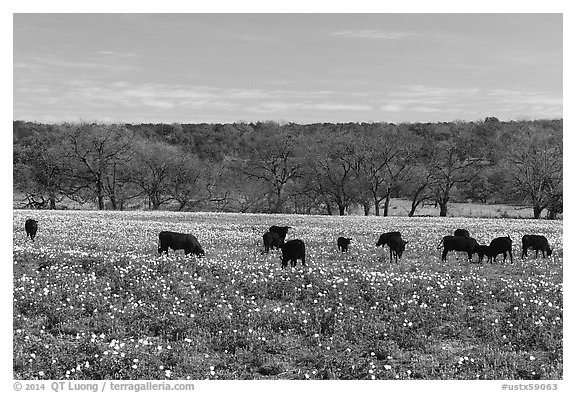 Cows in flower-filled meadow. Texas, USA (black and white)