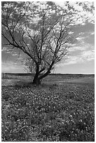 Bluebonnets and lone tree, Tow. Texas, USA ( black and white)