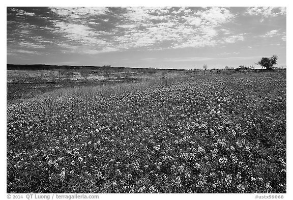 Carpets of Bluebonnets. Texas, USA (black and white)