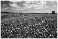 Carpets of Bluebonnets. Texas, USA ( black and white)