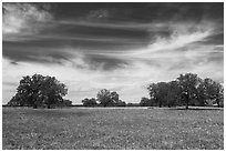 Meadow with wildflower and oak trees. Texas, USA ( black and white)