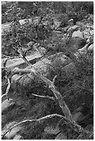 Branches and rocks, Enchanted Rock state park. Texas, USA ( black and white)