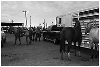 Trailers and horses. Fort Worth, Texas, USA ( black and white)