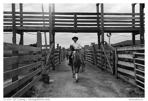 Man riding horse in path between fences. Fort Worth, Texas, USA (black and white)