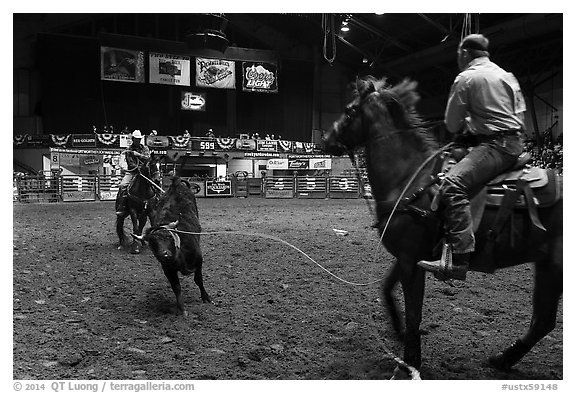 Bull being roped, Stokyards Championship Rodeo. Fort Worth, Texas, USA (black and white)