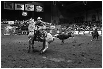 Team finishing roping, Stokyards Rodeo. Fort Worth, Texas, USA ( black and white)