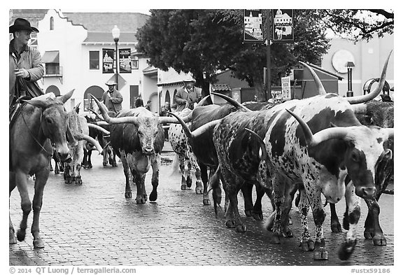 Longhorn cattle driven on Stockyards main street. Fort Worth, Texas, USA (black and white)