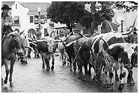 Longhorn cattle driven on Stockyards main street. Fort Worth, Texas, USA ( black and white)