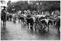Cowboys drive Longhorn cattle herd through Stockyards street. Fort Worth, Texas, USA ( black and white)
