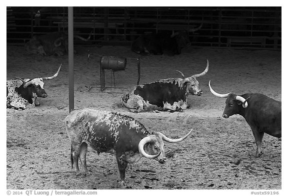 Texas Longhorn herd. Fort Worth, Texas, USA (black and white)