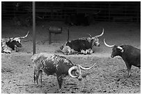 Texas Longhorn herd. Fort Worth, Texas, USA ( black and white)