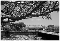 Plumeria tree, lotus pond, Thai Hoa palace (palace of supreme peace), citadel. Hue, Vietnam (black and white)