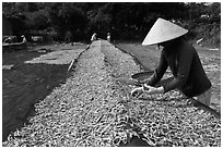 Woman sorting dried fish. Phu Quoc Island, Vietnam ( black and white)