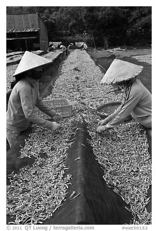 Women picking up dried anchovies. Phu Quoc Island, Vietnam