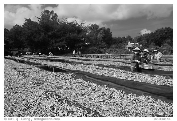 Fish being dried on racks. Phu Quoc Island, Vietnam (black and white)