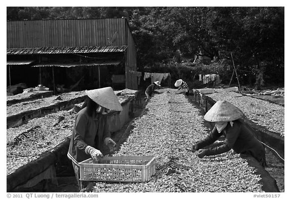 Dry fish processing. Phu Quoc Island, Vietnam (black and white)