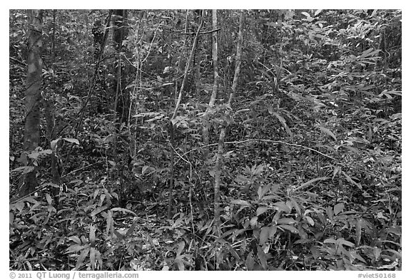 Tropical forest undergrowth. Phu Quoc Island, Vietnam (black and white)