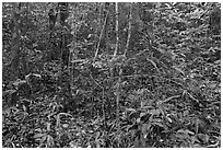 Tropical forest undergrowth. Phu Quoc Island, Vietnam ( black and white)
