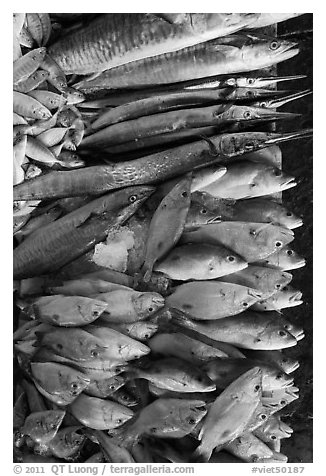 Close-up of fish for sale, Duong Dong. Phu Quoc Island, Vietnam (black and white)