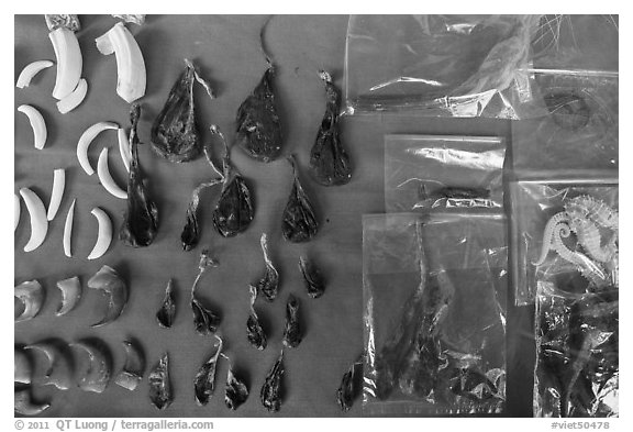 Animal parts used in traditional medicine. Cholon, Ho Chi Minh City, Vietnam (black and white)