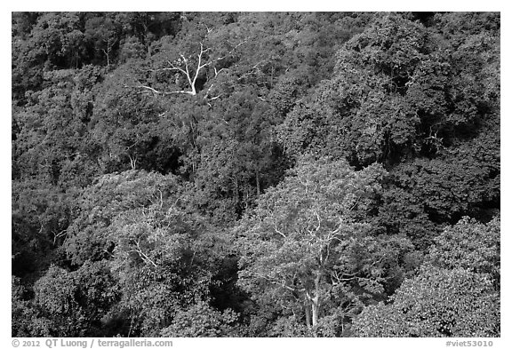 Tropical forest canopy. Ta Cu Mountain, Vietnam (black and white)
