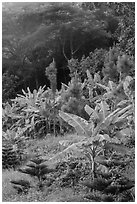 Tropical growth. Ta Cu Mountain, Vietnam (black and white)