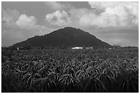 Dragon fruit field and hill south of Phan Thiet. Vietnam (black and white)