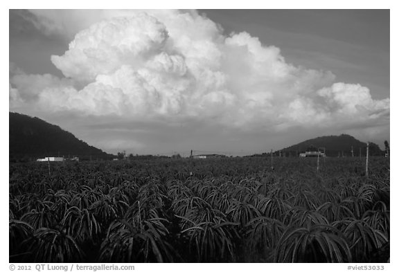 Thanh long fruit (pitaya) field and moonson clouds. Vietnam (black and white)