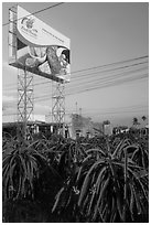 Field of pitaya (Thanh Long) and sign advertising them. Vietnam (black and white)