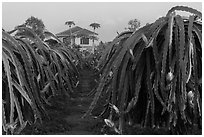 Pitahaya (Thanh Long) grown commercially. Vietnam (black and white)