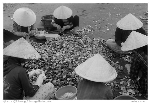 Women in conical hats processing pile of scallops. Mui Ne, Vietnam (black and white)