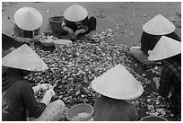 Women in conical hats processing pile of scallops. Mui Ne, Vietnam ( black and white)