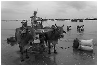 Bullock cart on fishing beach. Mui Ne, Vietnam (black and white)