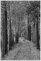 Path in forest with dog. My Son, Vietnam (black and white)