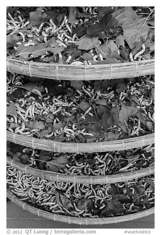 Trays of silkworms. Hoi An, Vietnam (black and white)