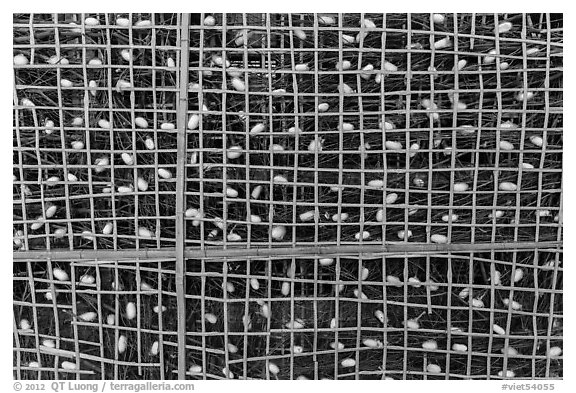 Grid with ellow and white silkworm cocoons. Hoi An, Vietnam (black and white)